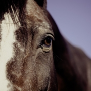 Récupération cheval voyage